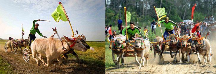 Чем заняться на Бали. Гонки на буйволах